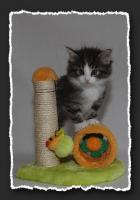 Foto 2 Norwegische Waldkatzen Kitten suchen neue Bauchkrauler