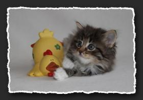 Foto 3 Norwegische Waldkatzen Kitten suchen neue Bauchkrauler