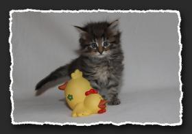 Foto 4 Norwegische Waldkatzen Kitten suchen neue Bauchkrauler
