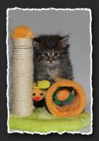 Foto 5 Norwegische Waldkatzen Kitten suchen neue Bauchkrauler