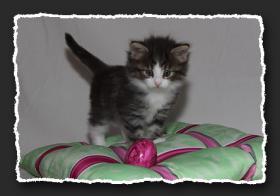 Foto 6 Norwegische Waldkatzen Kitten suchen neue Bauchkrauler