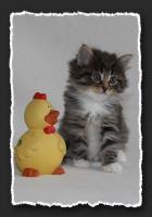 Foto 7 Norwegische Waldkatzen Kitten suchen neue Bauchkrauler