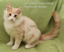 Foto 2 Norwegische Waldkatzen Kitten suchen neuen Wirkungskreis