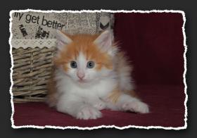 Foto 2 Norwegische Waldkatzen Kitten suchen noch liebe Bauchkrauler
