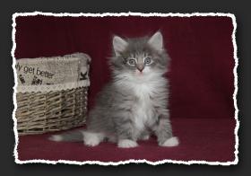 Foto 5 Norwegische Waldkatzen Kitten suchen noch liebe Bauchkrauler