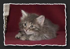 Foto 6 Norwegische Waldkatzen Kitten suchen noch liebe Bauchkrauler