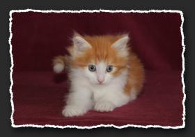 Foto 8 Norwegische Waldkatzen Kitten suchen noch liebe Bauchkrauler
