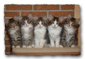 Norwegische Waldkatzen Kitten suchen noch liebe Dosenöffener