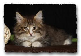 Foto 2 Norwegische Waldkatzen Kitten suchen noch liebe Dosenöffener