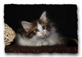 Foto 3 Norwegische Waldkatzen Kitten suchen noch liebe Dosenöffener