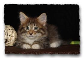 Foto 4 Norwegische Waldkatzen Kitten suchen noch liebe Dosenöffener