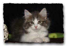 Foto 5 Norwegische Waldkatzen Kitten suchen noch liebe Dosenöffener
