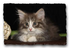 Foto 6 Norwegische Waldkatzen Kitten suchen noch liebe Dosenöffener