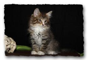 Foto 7 Norwegische Waldkatzen Kitten suchen noch liebe Dosenöffener