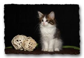Foto 8 Norwegische Waldkatzen Kitten suchen noch liebe Dosenöffener
