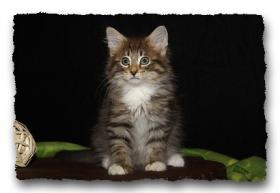 Foto 9 Norwegische Waldkatzen Kitten suchen noch liebe Dosenöffener