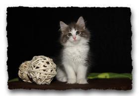 Foto 10 Norwegische Waldkatzen Kitten suchen noch liebe Dosenöffener