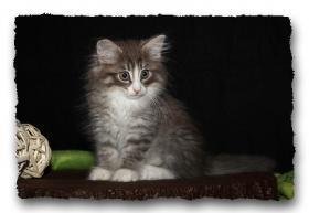 Foto 11 Norwegische Waldkatzen Kitten suchen noch liebe Dosenöffener