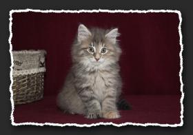 Foto 3 Norwegische Waldkatzen Kitten suchen noch liebe Oberschmuser