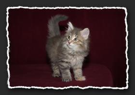 Foto 4 Norwegische Waldkatzen Kitten suchen noch liebe Oberschmuser