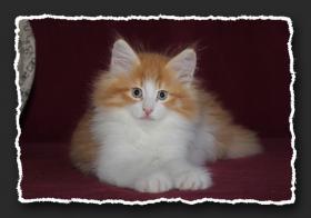 Foto 5 Norwegische Waldkatzen Kitten suchen noch liebe Oberschmuser