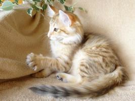 Norwegische Waldkatzen von La- Lea- Lil / Wir haben Babys