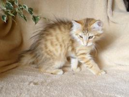 Foto 2 Norwegische Waldkatzen von La- Lea- Lil / Wir haben Babys