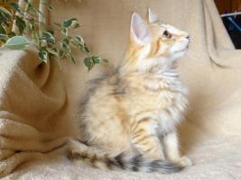 Foto 3 Norwegische Waldkatzen von La- Lea- Lil / Wir haben Babys