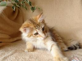 Foto 4 Norwegische Waldkatzen von La- Lea- Lil / Wir haben Babys