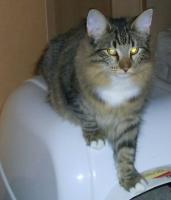 Foto 2 Norwegische Waldkatzen mit Papieren zu verkaufen