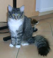 Foto 4 Norwegische Waldkatzen mit Papieren zu verkaufen