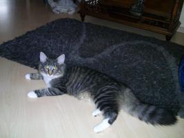 Foto 7 Norwegische Waldkatzen mit Papieren zu verkaufen