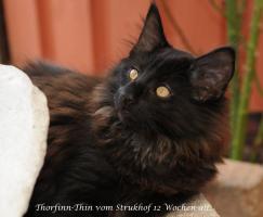Foto 4 Norwegische Waldkatzen vom Strukhof
