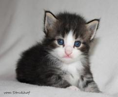 Foto 2 Norwegische Waldkatzen vom Strukhof