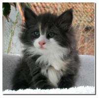 Norwegische Waldkatzen süße Kitten aus av Folgefonn