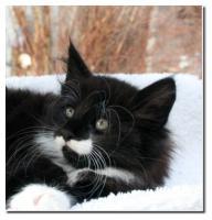 Foto 3 Norwegische Waldkatzen süße Kitten aus av Folgefonn