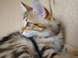Foto 3 Norwegische Waldkatzen/ Wir haben noch Babys in Ambertabby