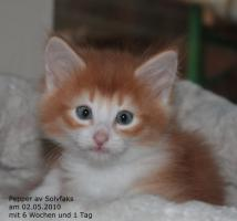 Foto 2 Norwegische Waldkatzenbabies suchen liebe Dosenöffner!