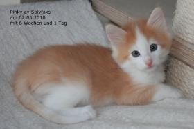 Foto 3 Norwegische Waldkatzenbabies suchen liebe Dosenöffner!