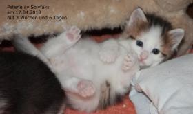 Foto 5 Norwegische Waldkatzenbabies suchen liebe Dosenöffner!