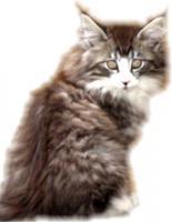 Norwegische Waldkatzenbabys Katerchen mit Papiere!