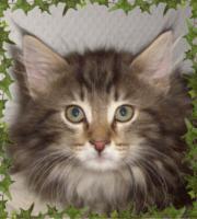 Foto 2 Norwegische Waldkatzenbabys Katerchen mit Papiere!