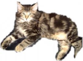 Foto 5 Norwegische Waldkatzenbabys Katerchen mit Papiere!