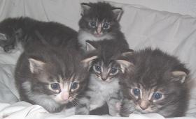 Norwegische Waldkatzenbabys suchen Liebhaber