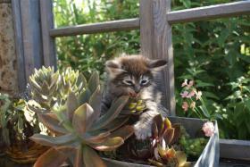 Foto 5 Norwegische Waldkatzenbabys zu verkaufen