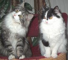 Norwegische Waldkatzenkitten suchen Liebhaber