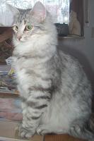 Foto 2 Norwegische Waldkatzenkitten suchen Liebhaber