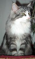 Foto 3 Norwegische Waldkatzenkitten suchen Liebhaber