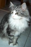 Foto 4 Norwegische Waldkatzenkitten suchen Liebhaber