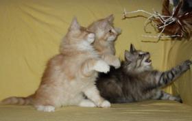Foto 4 Norwegischer Waldkatzen Kater sucht noch Schmuseplatz